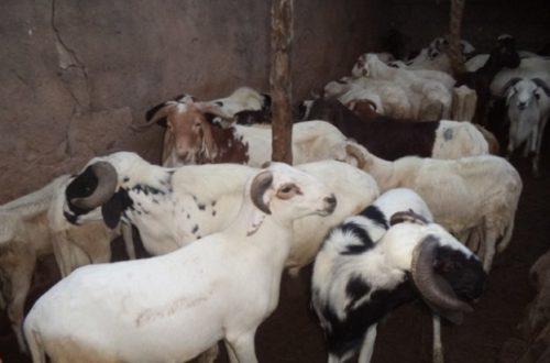 Article : Bienvenue dans la république des moutons présidents ! (Partie 1)